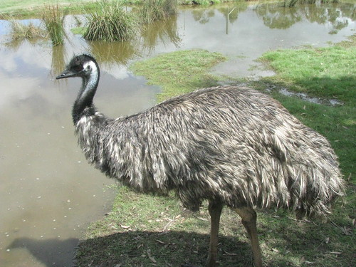 Dromaius novaehollandiae (Emu) - captive