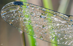 Aile de leucorrhine aprs la pluie. (gille33) Tags: macro nature insect drops dragonfly drop droplet goutte insecte insectes libellule libellula odonata odonate leucorrhine sonydslra700 mygearandme mygearandmepremium mygearandmebronze mygearandmesilver gillesremus infinitexposure