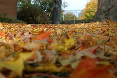 Leaves (Flapweb) Tags: new autumn england fall leaves museum burlington vermont nikond50 shelburne