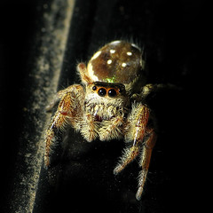 Hi There! (zxgirl) Tags: bug spider spiders arachnid flash bugs jumpingspider arachnida s5 araneae jumpingspiders salticidae dcr250 raynox araneomorphae paraphidippus onmycar img5246 dendryphantinae paraphidippusaurantius entelegynes