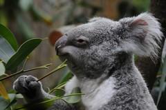 phascolarctos cinereus (Joachim S. Müller) Tags: animal germany mammal deutschland zoo koala marsupial duisburg nordrheinwestfalen tier säugetier zooduisburg phascolarctos phascolarctoscinereus koalabär beuteltier moocard4 beutelbär aschgrauerbeutelbär tamronaf18270mmf3563