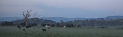 ACT cows (Lauri Vin) Tags: dawn cows capital australian australia territory yahoo:yourpictures=earlymorning yahoo:yourpictures=landscape