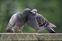Love is in the air (Foto Martien) Tags: pigeon dove domesticpigeon domesticdove rockpigeon rockdove feralpigeon citypigeon streetpigeon columbaliviadomestica duif tammeduif rotsduif postduif stadsduif sierduif coupleofdoves koppeltjeduiven paartjeduiven love peace liefde vrede bird vogel taube paloma piccione pichón colombe sonyalpha100 a100 sigma70300apomacro martienuiterweerd martienarnhem flickrdiamond aplusphoto superaplus mygearandme ringexcellence mygearandmepremium mygearandmebronze mygearandmesilver mygearandmegold mygearandmeplatinum rememberthatmomentlevel1 rememberthatmomentlevel2