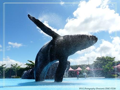 Humpback Whale (Megaptera novaeangliae) - 大翅鯨