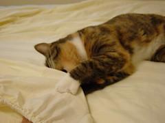 Gracie helps Edgar make the bed 8763 (edgarandron - Busy!) Tags: cats cute cat gracie feline tabby kitty tortoiseshell kitties tortie torbie