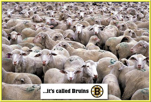 Bruins sheep by you.