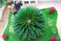 Look at the size of that thing!! (mynameisharsha) Tags: india plant green leaves big flora nikon bangalore lawn round huge greenery shrub enormous d60 1855mmf3556gvr mynameisharsha
