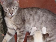mamando... (Mariana BMS) Tags: pet cats animal cat gatos gato felinos felino bicho mamando marianabms