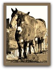 ~~Amies~Friends~~ (Jolisa) Tags: friends horse cheval nikon donkey pferd esel amies spia ne plantecheval larchedejo
