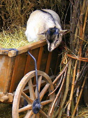 A so lovely kid... (mujepa) Tags: barn kid farm hangar goat cart barrow foin paille chvre charrette fagot biquette