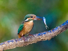 Common Kingfisher Holding Fish In Beak (aeschylus18917) Tags: park bird nature birds japan tokyo nikon wildlife feathers kingfisher   prey d200 predator nerima fishin  80400mm predation nerimaku commonkingfisher alcedoathis 80400mmf4556dvr shakujikoen     d700 80400mmf4556vr  shakujipark  danielruyle aeschylus18917 danruyle druyle   shakujiiken