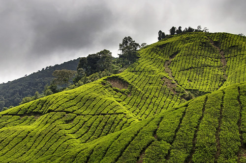 Cameron Highlands 14