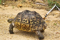 Leopard tortoise(Geochelone pardalis) (Arno Meintjes Wildlife) Tags: africa park wallpaper nature southafrica bush wildlife safari leopard rsa krugernationalpark kruger leopardtortoise parkstock geochelonepardalis arnomeintjes