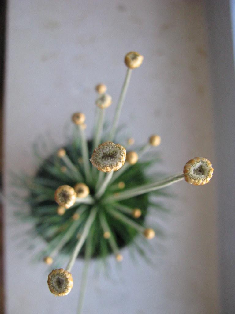 syngonanthus chrysanthus mikado