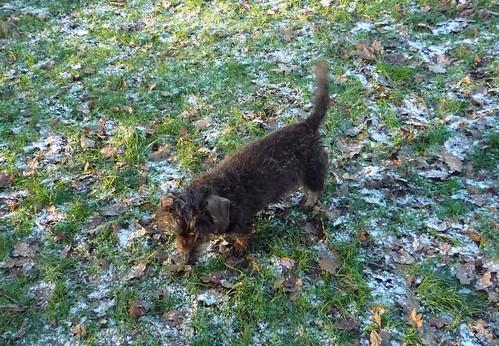 miniature dachshund Hampstead Heath NY09/10