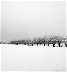 A chorus line (White Red Flower) Tags: trees winter bw alberi countryside bn campagna inverno silences silenzi schieramenti