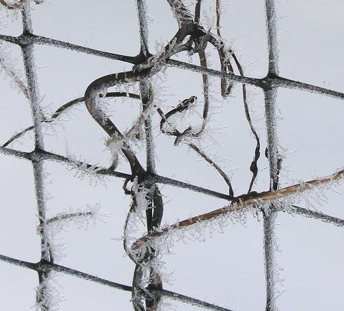Ice Vine 2