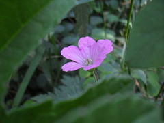 Little Pink Flower (christopherfisher) Tags: pink flower green leaves closeup leaf petal foliage