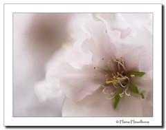 La primavera ha llegado... (HanaHoudkova) Tags: flores macro primavera spring flor almond rosa bloom delicate makro jaro almendro almendros delicado kvt rov kvty mandlo