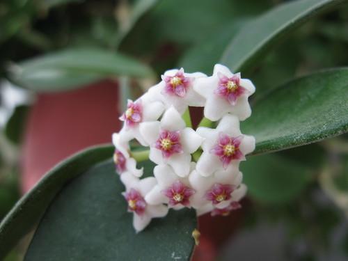 Hoya nummularioides