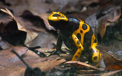 bicycle chain frog (estherase) Tags: uk black london yellow zoo findleastinteresting amphibian frog londonzoo faved emssimp dendrobatesleucomelas yellowbandedpoisondartfrog zsl at zoologicalsocietylondon