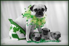 St. Pug's Day! (kristi_Nikon_D1X) Tags: green pugs petportrait pugpuppies