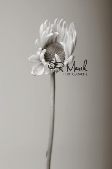 Daisy Mono