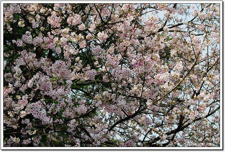 天元宮,櫻花 (11)