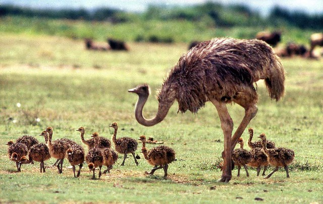 01 Ostrich: Struthio camelus brood