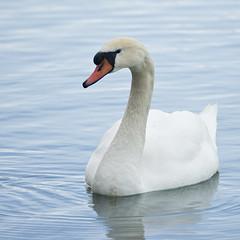 Mute Swan (Cygnus olor) (fugle) Tags: bird muteswan nevada cygnus swan escape feral