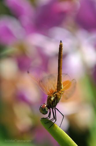 a female trithemis aurora-曉褐蜻