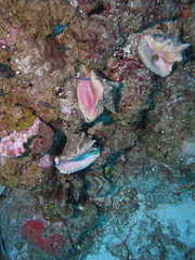 IMG_1576_WB (galenwolffit) Tags: conch grandcayman caymans lighthousereef