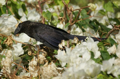 Grenada: Smooth-Billed Ani