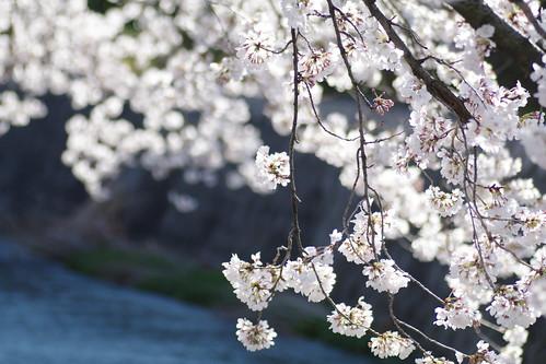 桜2010.03.26_004