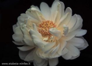 Nelumbo 'Xiao BiTai'   (bianco, doppio )