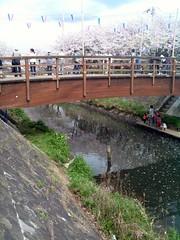 船橋・海老川ジョギングロードのさくら