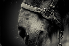 _MG_7947-100 (tastygiant) Tags: bw horse flower canon mouth hair nose picnic farm tx company mound 2470mm