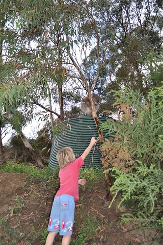 Koala, so close! 34