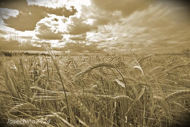 Campos de trigo.