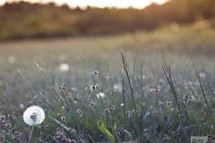 approaching dusk (bennybehr) Tags: flowers blue sunset canon 50mm cool wiese blumen dandelion flare gras sonne siegen creamy untergang