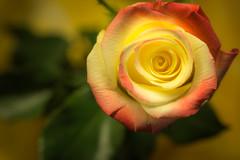 A Gift (glo photography) Tags: gloriasalvanteglophotography fleur flor flora flower green macro petals pink red rosa rose studio yellow
