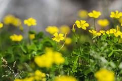 yellow bug (Patrick.Burns) Tags: