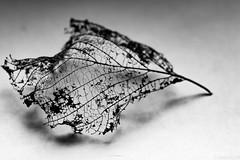Dentelle d'Hiver (Meculda) Tags: feuille hiver france dentelle noiretblanc blackandwhite monochrome monochrom interieur macro