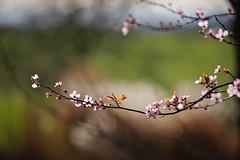 Nature's Smile (paulapics2) Tags: nature spring blossom pretty flowers garden hydehallgardens canoneos5dmarkiii canonef70300mm rhsgardens feminine depthoffield blühen flora floral outdoor leaves bright pink bokeh tree