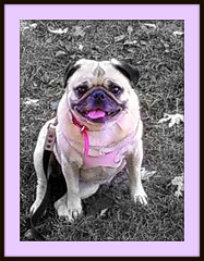 Pretty in Pink Pug (lilred's pics :)) Tags: pink dog cute face pug smushy