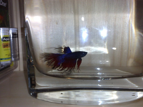 Simo the siamese fighting fish