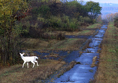 Oh deer (Abizeleth) Tags: trees white fall abandoned mammal deer shrubs whitetaileddeer odocoileusvirginianus shc whitedeer takenfromabuswindow senecawhitedeer senecaarmydepot herowinner