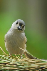 With a coy little tilt to the head... (mimicapecod) Tags: nature birds tuftedtitmouse naturesfinest mywinners platinumphoto avianexcellence excellenceinavianphotography citrit freenature birdperfect birdwithsunflowerseed pacolophusbicolor