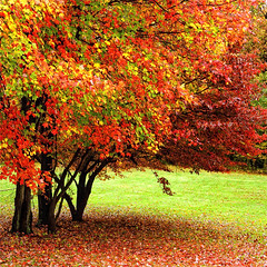 We Aren't Ready Yet, If You Don't Mind! (Baab1) Tags: autumn trees yards red fall grass nikon seasons fallcolors maryland overcast autumnleaves squareformat nikkor rainydays 1755 southernmaryland supershot df300 calvertcountymaryland sunderlandmaryland huntingtownmaryland natureselegantshots