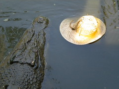 Crocodile with Hat